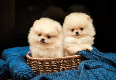 Affectionate Pomeranian puppies available