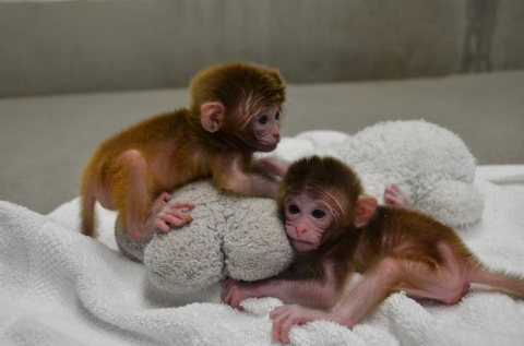 Beautiful Capuchin available for new homes