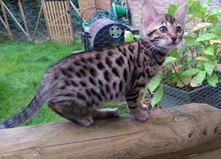 القطط البنغال جميلة ورائعة