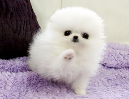 Tiny Teacup Pomeranian Puppies for sale