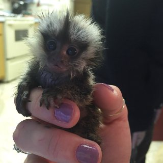 marmoset available for sale,