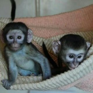 capuchin available for sale,