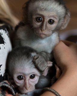pure skin/healthy capuchin for sale: