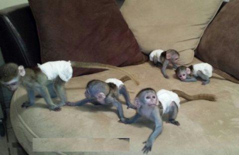 القرود كابوشين الذكور والإناث المتاحة