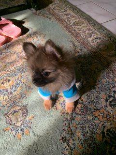 للبيع كلب بومرينيان Pomeranian بالرياض