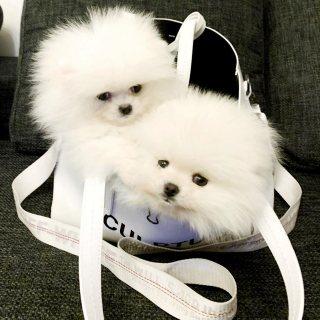 tenemos small pomeranian puppies male/female for sale