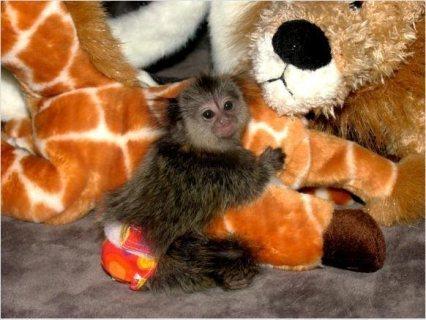 يذكر الحلو Marmoset القرد