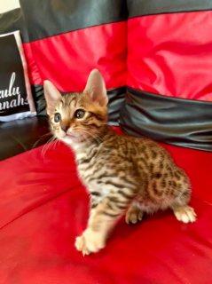 القطط السافانا F1 ، F1 ، F1 ، F1 savannah cats