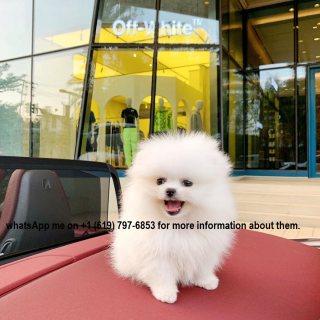 كلب صغير طويل الشعر من الذكور والإناث المتاحة. pomeranian