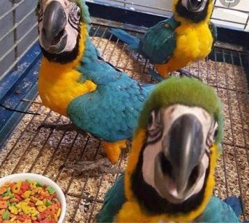 الذكور والإناث الأزرق والذهب الببغاء السلطة الفلسطينية. parrots