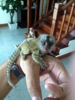 فضولي قرد marmoset للبيع