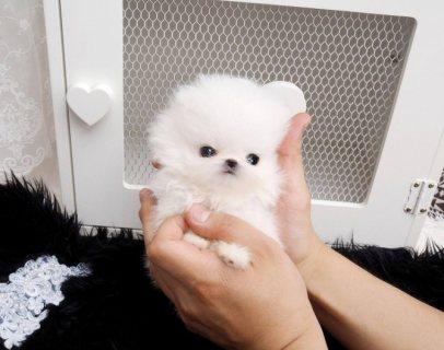 كلب صغير طويل الشعر للتبني