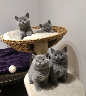 males and females...القطط british shorthair رهيبة للبيع.