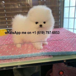 Wonderful Pomeranian Puppies available