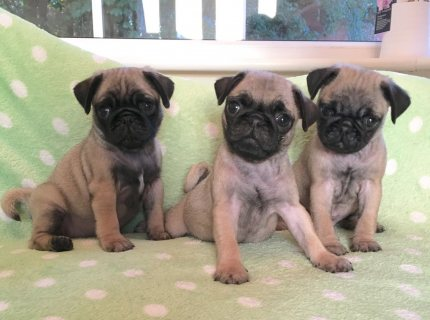 Adorable male  and  female pug Puppies. whatsapp:: +16784214897