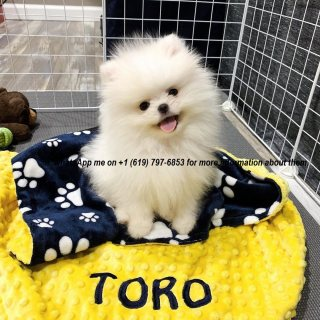 Both males and females pomeranian dogs available.