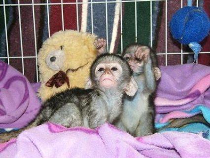 بذهول صحي العنكبوت القرد