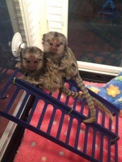 القرود marmoset مذهلة للبيع. واتس اب لي على +16784214897