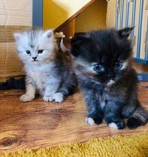 قطة أنثى شيرازية النوع فلبيني