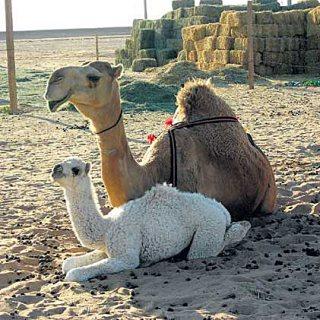 Camels for Sale Purebred