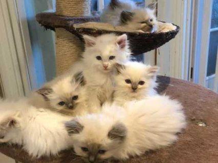 قطط دوول للبيع ؟؟؟؟؟؟