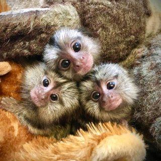 القرود الصغيرة من الذكور والإناث متاحة الآن
