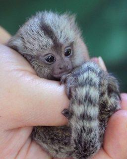 القرود Marmoset رائعتين جاهزة للمنازل المحبة الجديدة. تم فحص