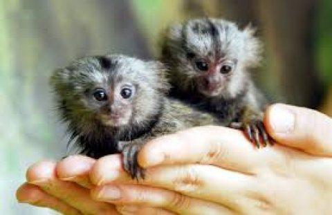 القرود صحية marmoset متاحة الآن