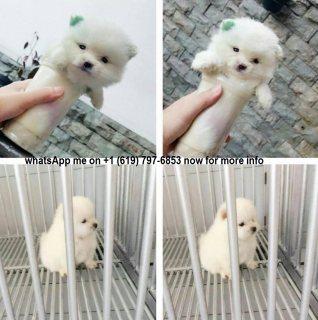 جرو كلب صغير طويل الشعر للبيع.