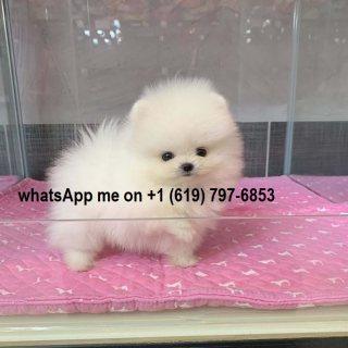كلب صغير طويل الشعر للبيع.