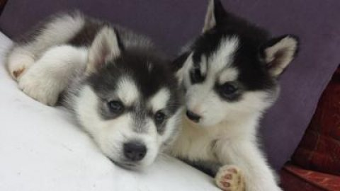 Super adorable Siberian husky Puppies. for adoption