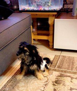 كلب مكس مالتيزر ويوركشير للبيع عمر 3 اشهر