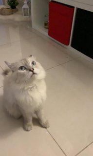 قط هملاي عمره سنه عقيم يلعب ويعرف دورة المياه