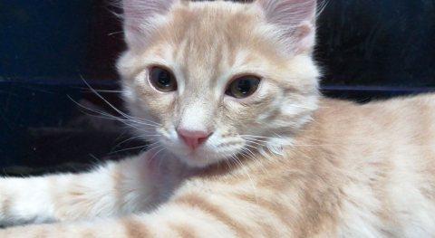 قطط شيرازي صغيره بسعر مغري