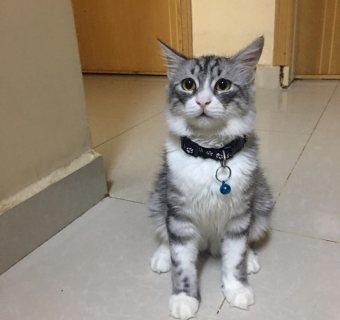قط شيرازي سيبيري للبيع - جيزان