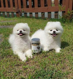 Two Beautiful Pomeranian Pups