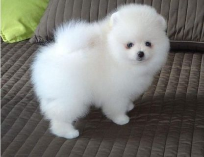 Gorgeous Female Pomeranian