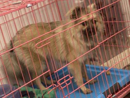 كلب بوميرينون مكس مع جيرمن سبيتز للبيع بالرياض