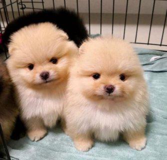 كلاب صغيرة صغيرة جميلة تبحث عن منزلها المحب للأبد