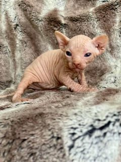 Beautiful TICA Male and female Sphynx Kittens for sale
