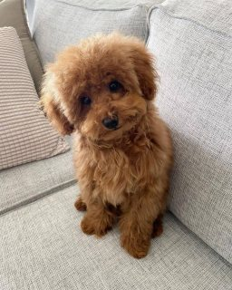 Toy poodle for sale both male and female