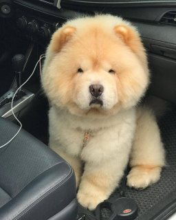 Amazing chow chow puppy ready for sale now