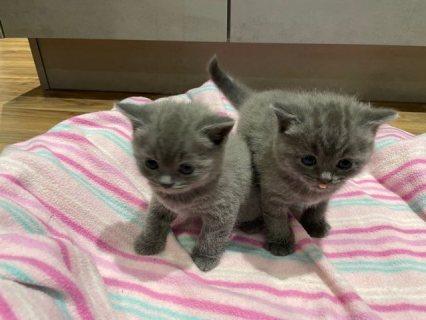 فضلات مذهلة من القطط البريطانية قصيرة الشعر