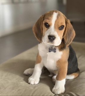 Lovely Beagle puppy Available for rehoming Today