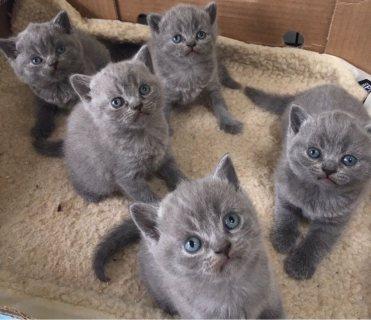 القطط البريطانية قصيرة الشعر رائعتين للبيع الآن