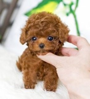 صور Male and female teacup Poodle puppies for sale. 1