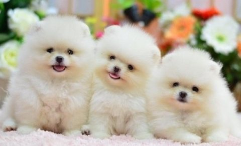Beautiful toy Pomeranian puppies available for sale