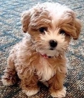 Beautiful baby Maltipoo puppies available for sale