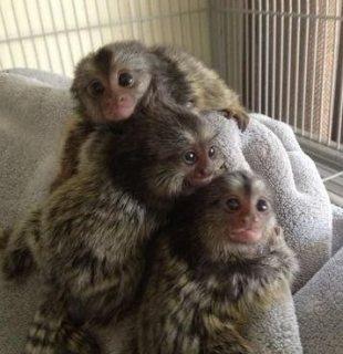 Gorgeous finger Marmoset monkeys available for sale