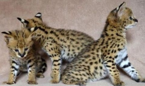 Trained F1 Savannah Kittens available now